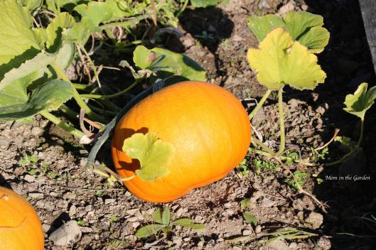 pumpkin in sunlight