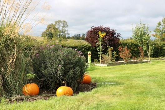 pumpkins in the garden
