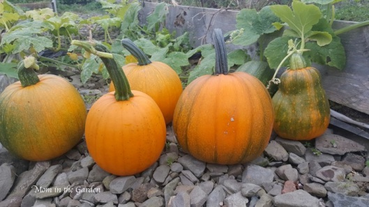 different sized pumpkins