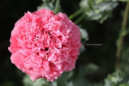 Pink ruffle poppy