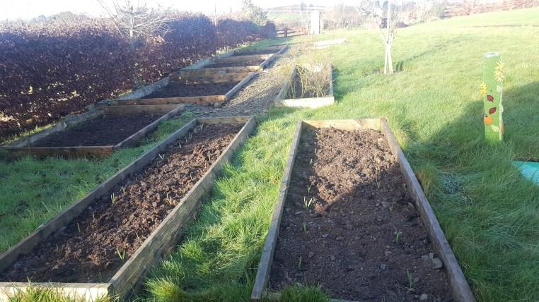 beds of garlic in the garden