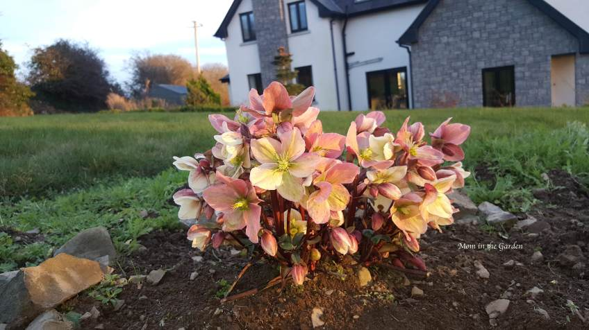 Hellebore Winter Sunshine