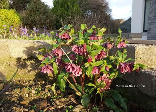 helleborus orientalis double ellen red