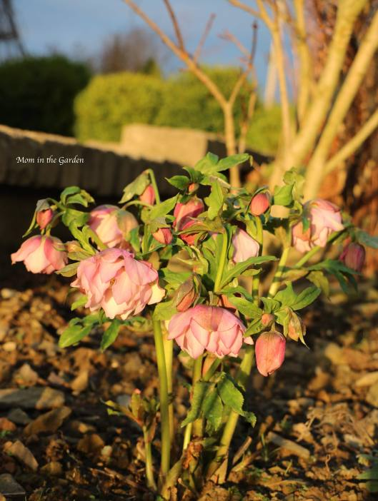 Helleborus frilly Isabelle