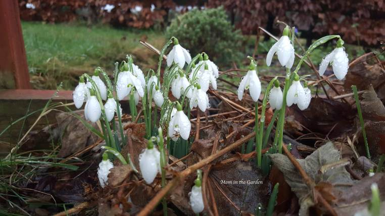 snow drops covered in rain water