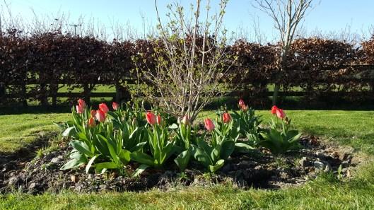 Viburnum opulus 'Roseum' tulips Don Quichotte and Mystic van Eijk