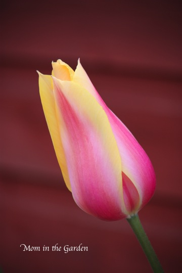 Blushing lady Tulip