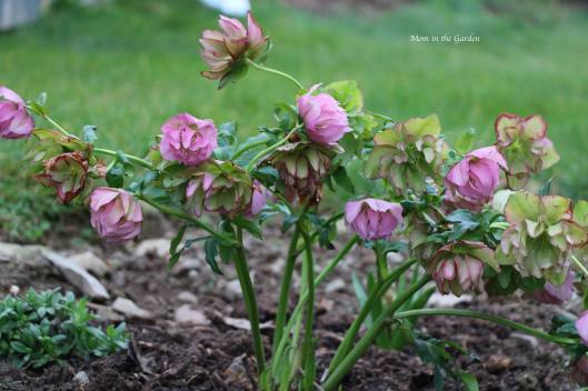Hellebore plant Frilly Isabelle