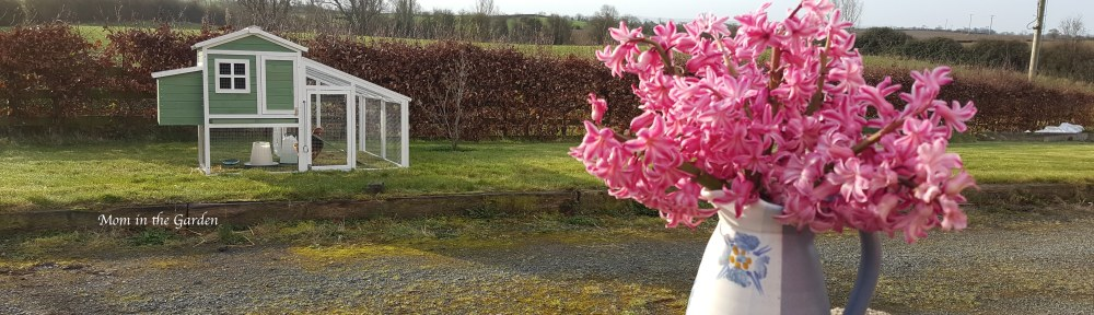 pink hyacinth in a jug with chicken house in the background