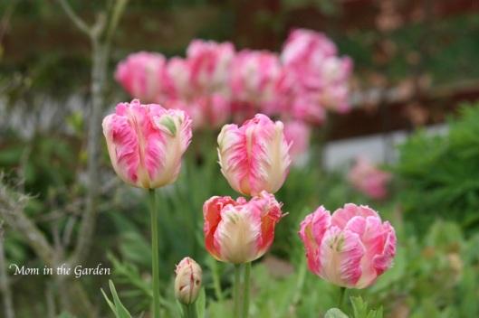 Parrot tulips, in my garden