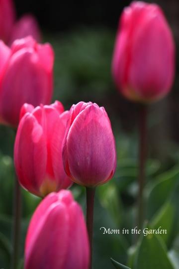 Pink Purple Tulips Douglas Bader