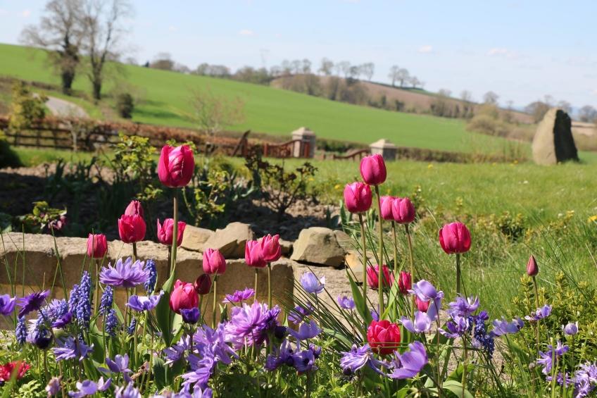 tulips, grape hyacinth, anemone, in my garden