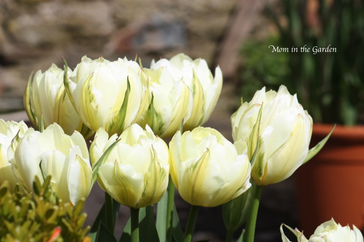 white Tulips from The Bay Garden