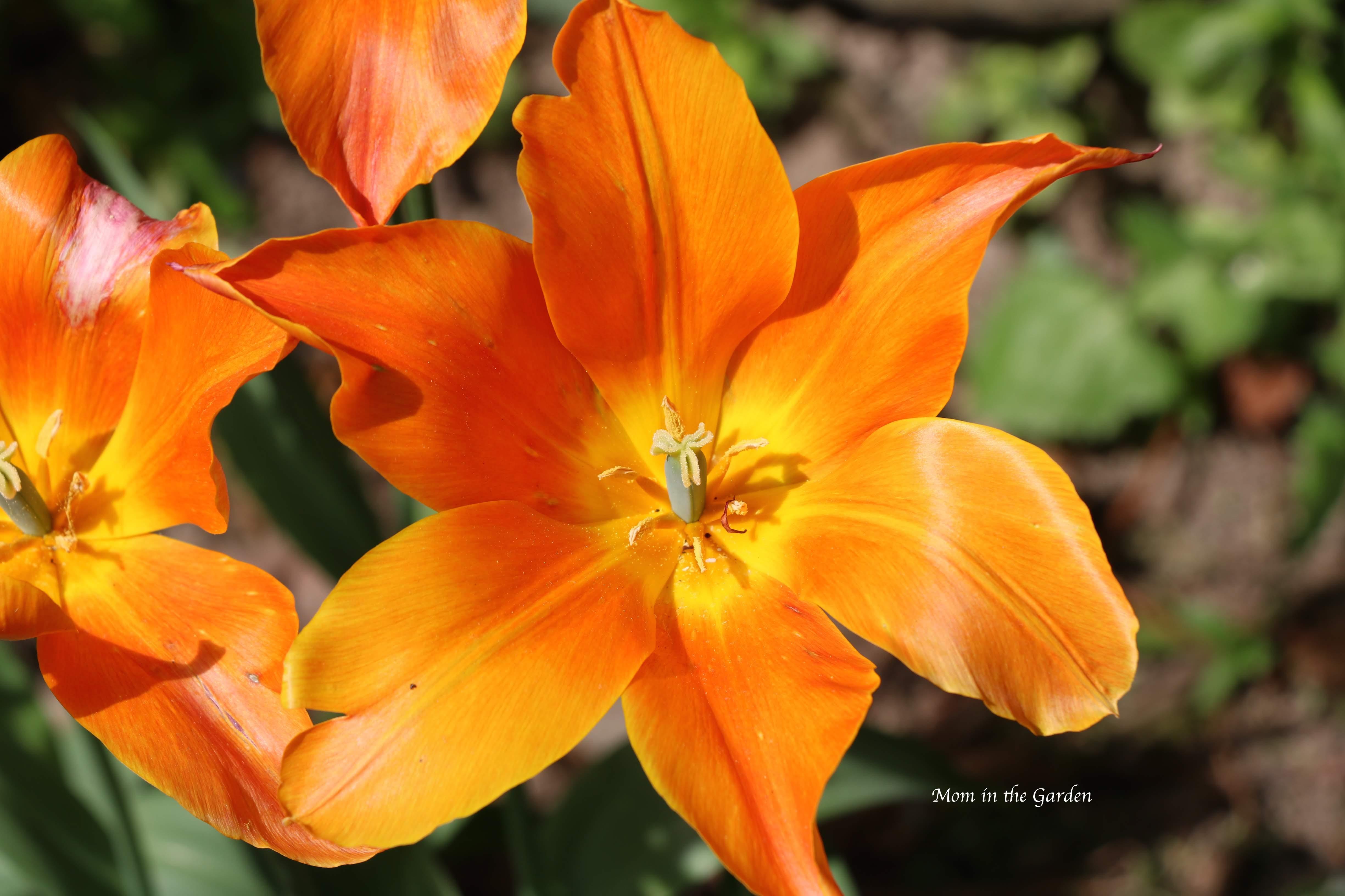 Ballerina tulip fully open