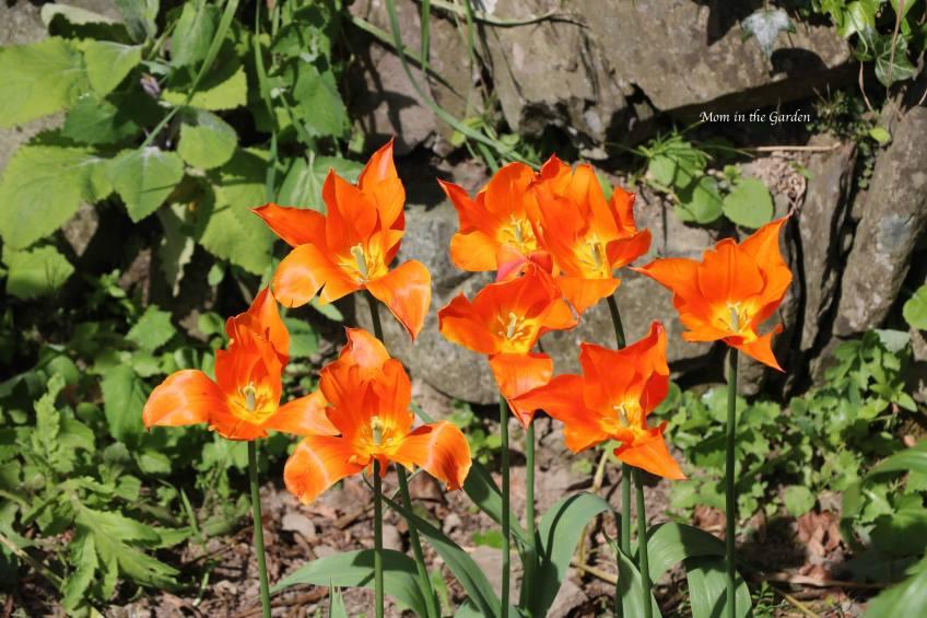 Ballerina tulips open in May