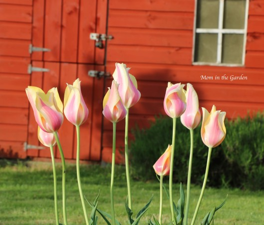 Blushing Lady tulips