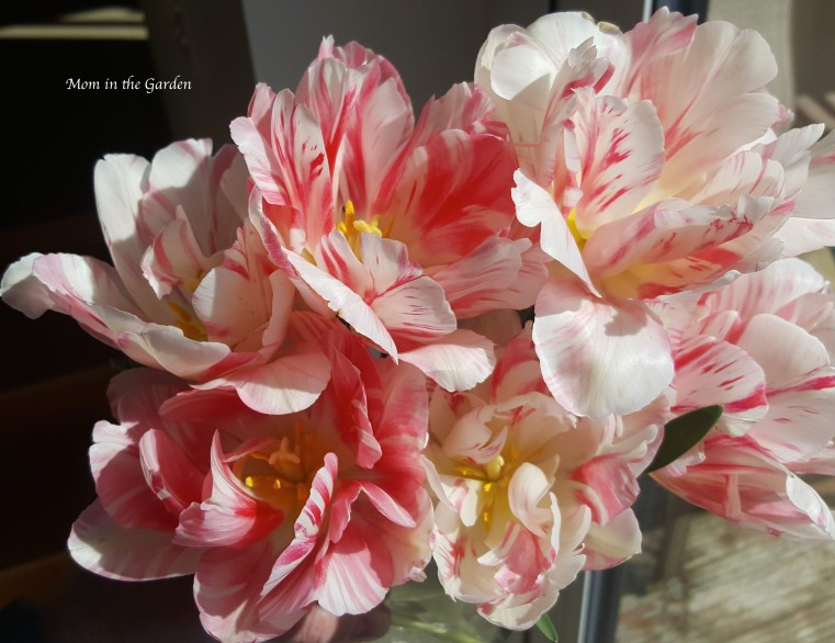 Double Angelique tulips