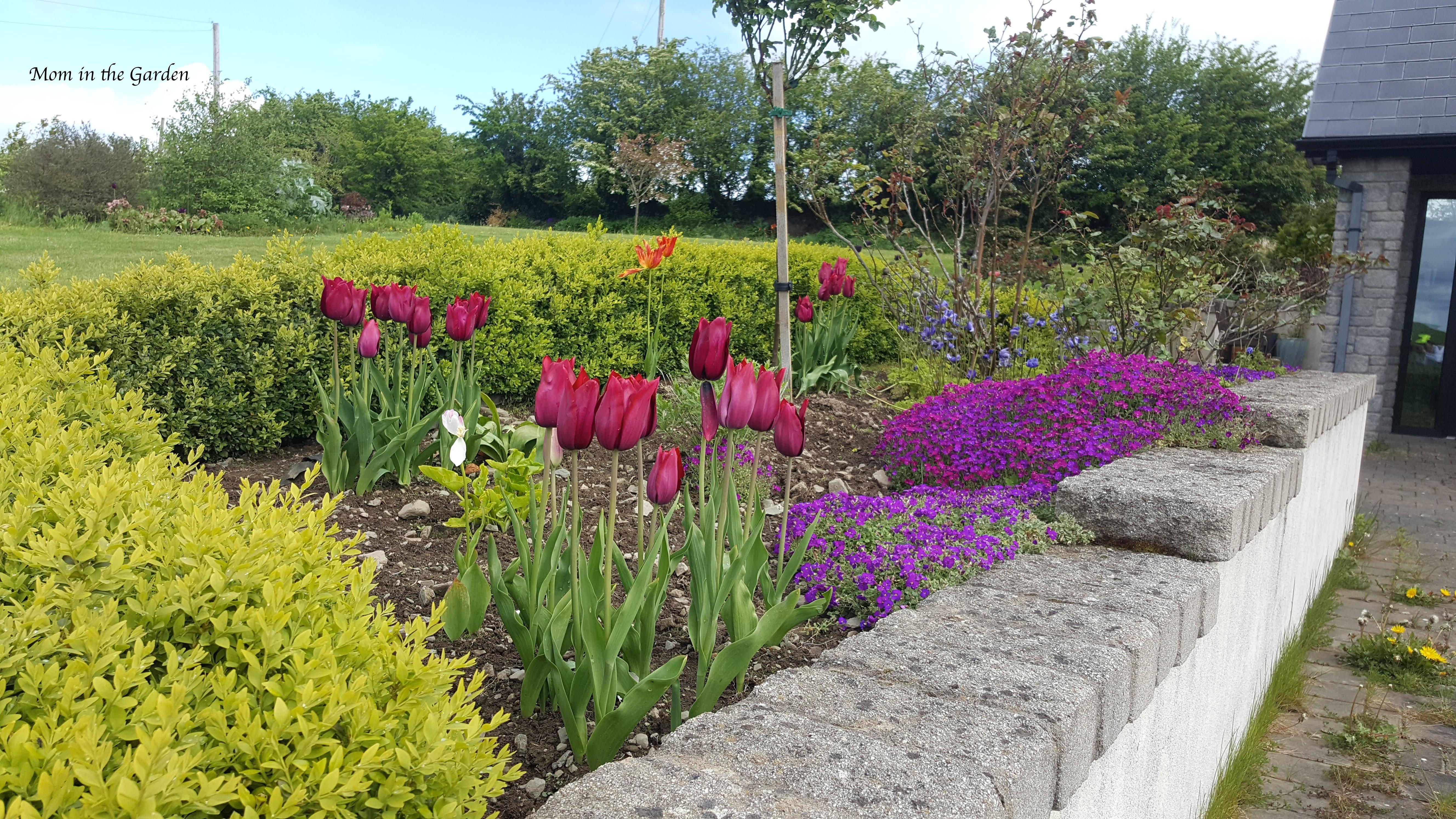 Merlot tulips