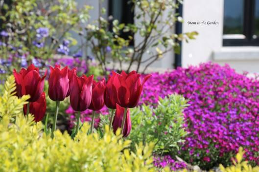 Merlot tulips + aubrietia