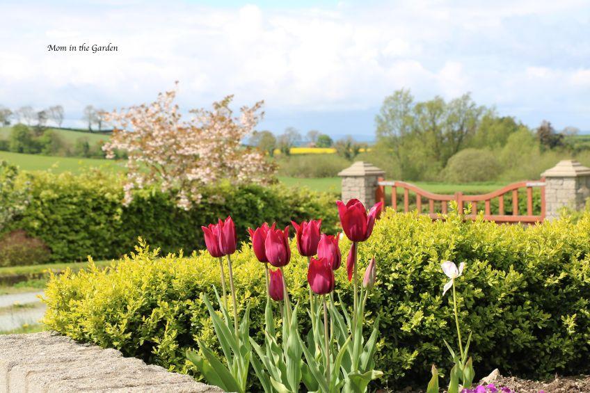 Merlot tulips + cherry tree
