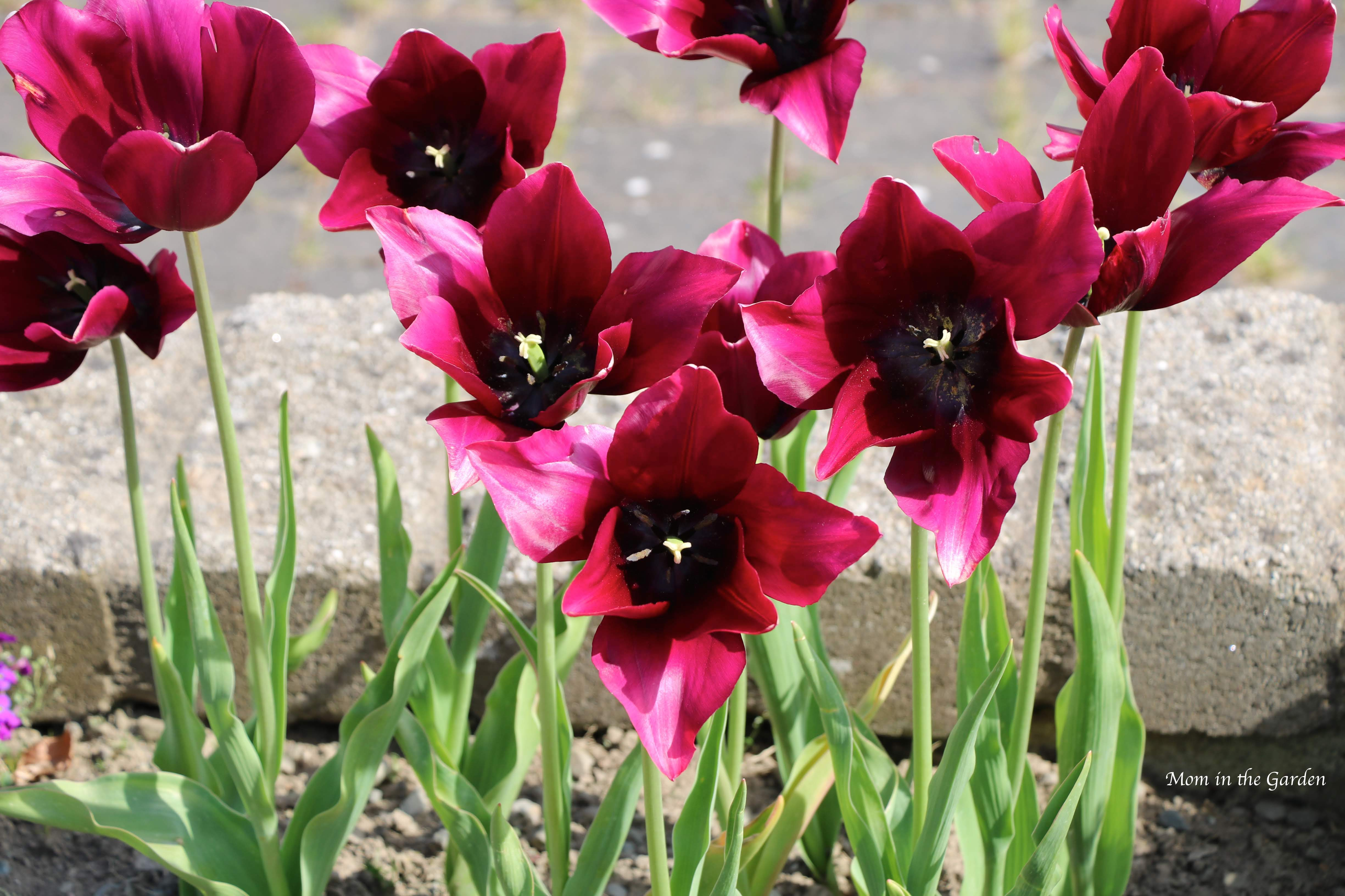 Merlot tulips open May 14