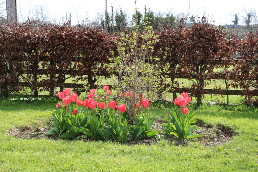 Viburnum surrounded by Mystic van Eijk (the large tulips) and Don Quichotte (the small purple tulips)