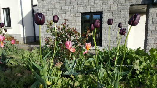 Queen of the Night tulips + Princess Tulips