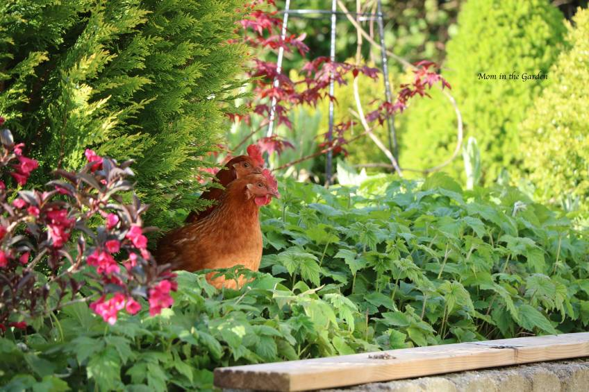 2 chickens in Japanese Maple tree bed