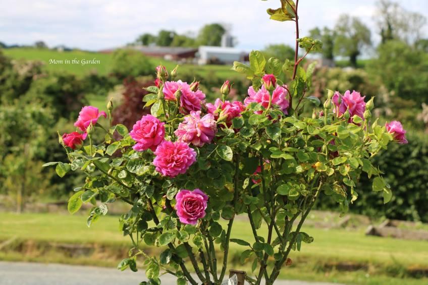 David Austin Standard Tree Rose Princess Anne