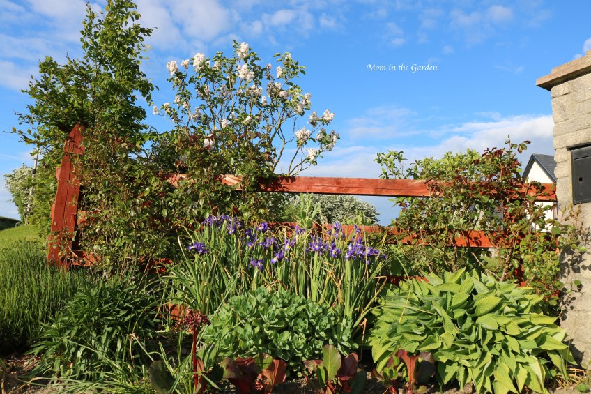 flower bed of iris, hosta, sedum
