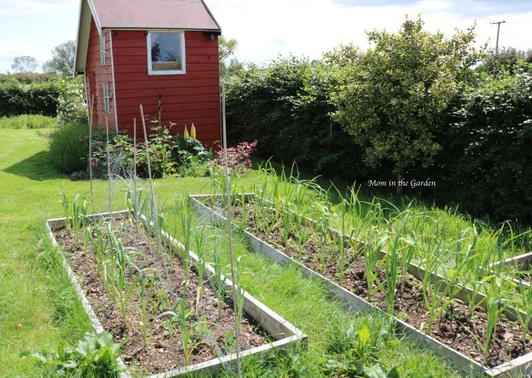 Garlic beds + sweet pea plants