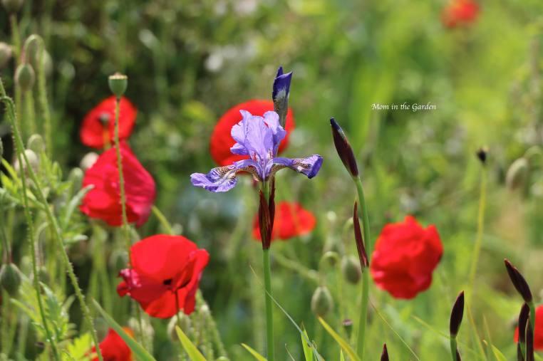 Iris + Poppies