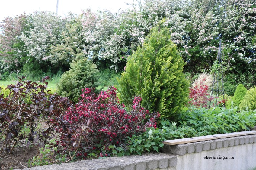 Japanese Maple flower bed + Hawthorn trees in bloom