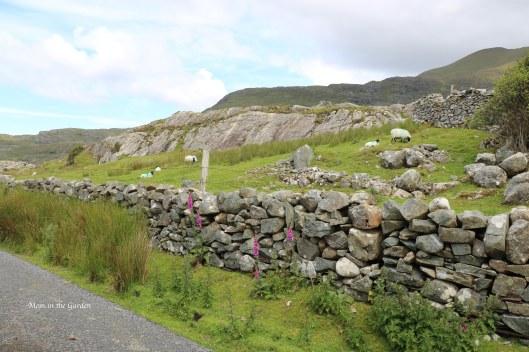 stone wall and sheep
