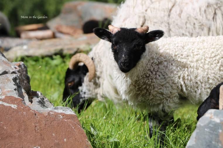 Mayo Blackface Sheep