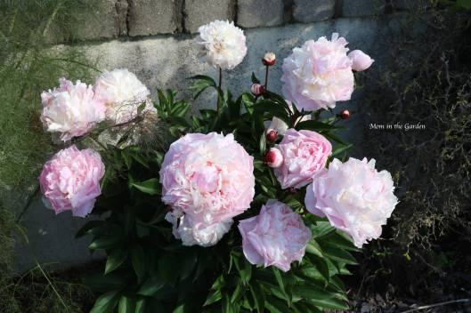 White Peony that is pink