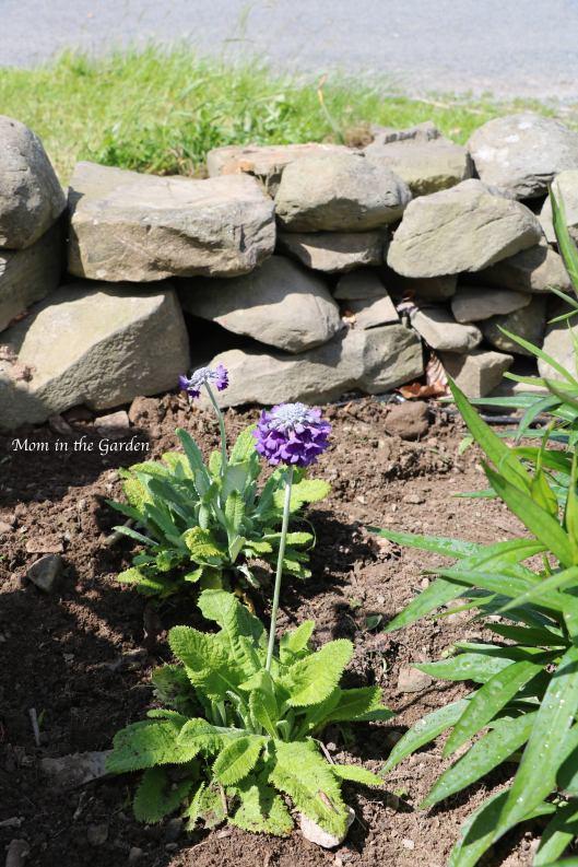 Primula capitata subsp mooreana Woodlander
