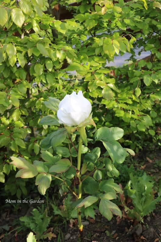 Tree Paeonia Renkaku