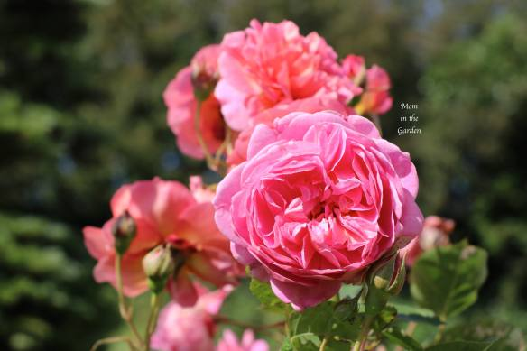 Boscobel David Austin Rose