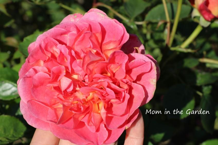 Boscobel Rose single