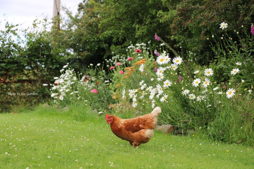 Chicken at ditch wall garden July 11