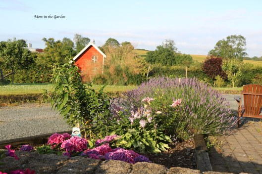 Early morning view of lavender