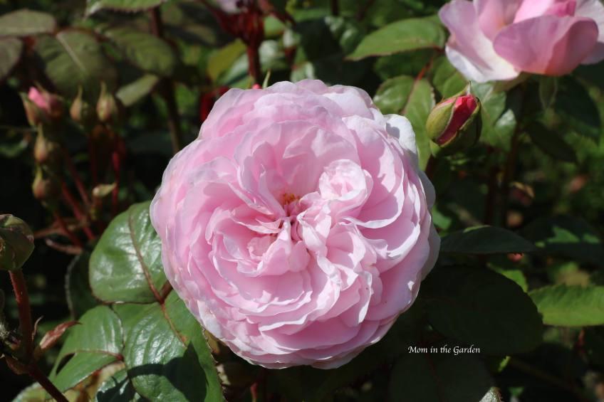 Light Pink David Austin 'Olivia Rose Austin' Rose July 13