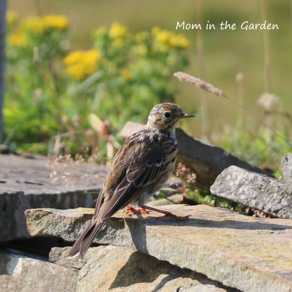 Meadow Pipit on rock
