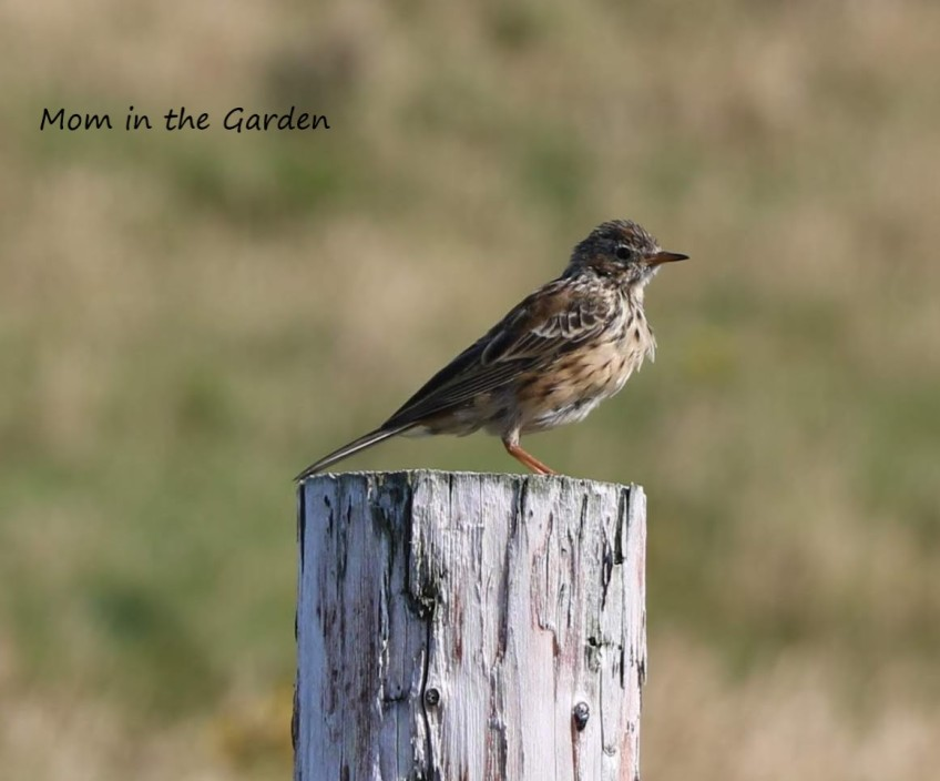 Meadow Pipit on wooden post
