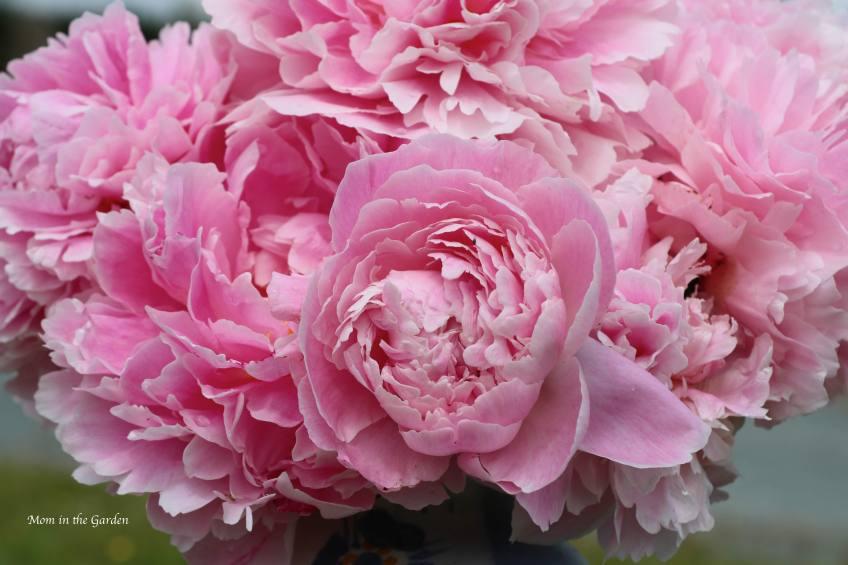Peony bouquet up close Sarah Bernhardt July 9