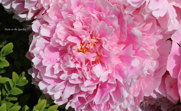 Peony 'Sarah Bernhardt' fully open July 9