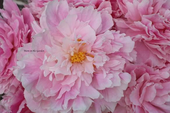 Peony Sarah Bernhardt July 9