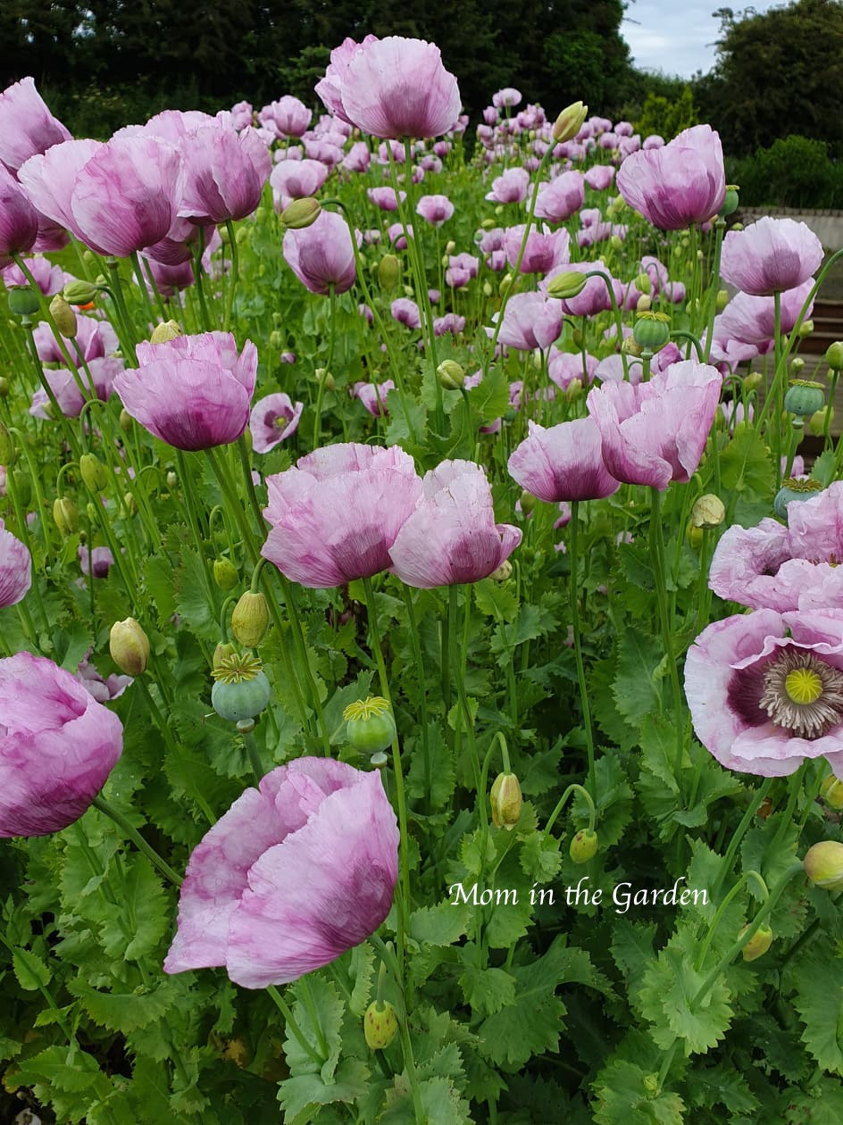 Purple Poppies Full Bloom Rose Bed