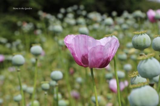 Purple Poppies ONE bloom Rose Bed